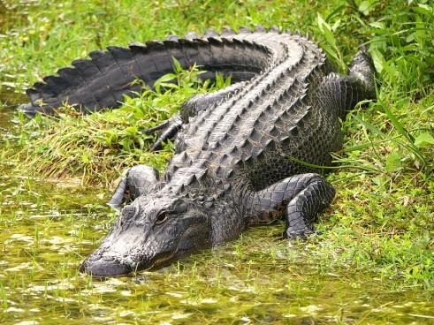 alligator-1024